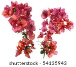 Bougainvillea With Red Blossom...