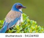 Closeup Of A Western Bluebird