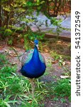 Small photo of Peacock at the Garden of Royal Alcazar Place in Seville, Andalusia, Spain.