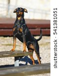 Small photo of Black and tan German Pinscher dog with natural droopy ears posing outdoors near a wooden bench