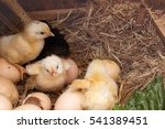 Just Hatched Baby Chicks