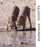 Two Cheetahs Drinking Water...
