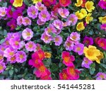 beautiful pink and red flower ... | Shutterstock . vector #541445281