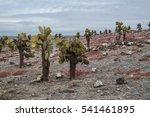 Cactus Trees On Galapagos...