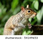 portrait of a grey squirrel | Shutterstock . vector #54149653