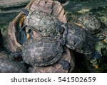 Chinese Stripe Necked Turtles