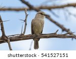 Small photo of African grey flycatcher. Masai Mara, Kenya.
