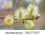 Branch Of A Willow Against The...