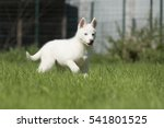 Siberian Husky Puppy In The...