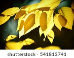 The Yellow Leaves Of Yellow...