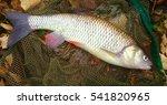 Catch Of Fish. Big European...