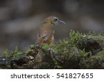 Small photo of Abbott's Babbler (Malacocincla abbotti) standing on top of the pole, kaoyai national park, thailand
