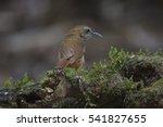 Small photo of Abbott's Babbler (Malacocincla abbotti) standing on top of the pole, kaoyai national park, thailand