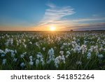wild cotton field sunset in... | Shutterstock . vector #541852264