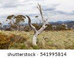A Dead Bare Gum Tree Trunk In...