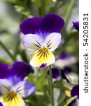 Johnny Jump Up  Viola Tricolor