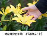 Hand And Lilly Flowers In The...
