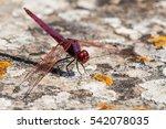 Purple Dragonfly Sunbathing On...