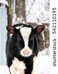 Small photo of little calf winter