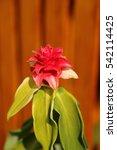 Small photo of Bromeliad, Aechmea fasciata, Urn Plant