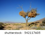 Weaver Bird Nest  Namibia