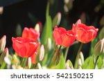 Glowing Daffodils In Sun Light