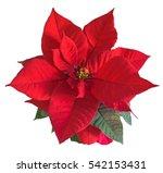 The Poinsettia Red Flowers ...