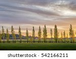 poplars all in a row line a... | Shutterstock . vector #542166211