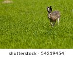 Stock photo hare lepus europaeus running on green field 54219454