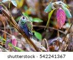 The White Eared Hummingbird  I...