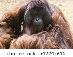 Male Adult Orangutan