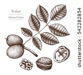 walnut botanical illustration.... | Shutterstock .eps vector #542282854