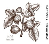 fig tree botanical illustration.... | Shutterstock .eps vector #542283541
