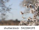 Almond Tree In Bloom In Requen...