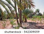 Palm Grove In Elche  Spain.