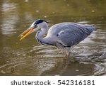 Grey Heron  Ardea Cinerea ...