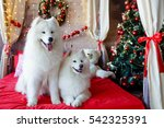 two samoyed dog in the red bed... | Shutterstock . vector #542325391