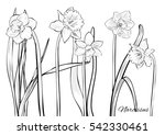 figure narcissus. drawing set... | Shutterstock .eps vector #542330461