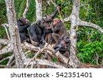Group Of Chimpanzee  Pan...