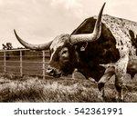 Longhorn Keeping Watch