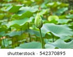 Small photo of American lotus (Nelumbo lutea) bud portrait.