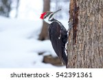 Woodpecker In The Snow In...