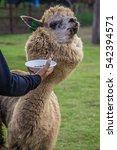 Small photo of A man feeding a alpaca in farm but alpaca refused to eat