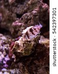 Small photo of Falco hawkfish Cirrhitichthys falco perches on coral and waits for prey in a reef aquarium.
