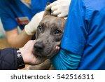 veterinary inspection of the... | Shutterstock . vector #542516311