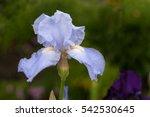 Blue Iris Flower.