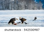 The Magpies And Bald Eagle  ...