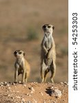 Two meerkats next to each other in beautiful light, one upright and one bent down - stock photo