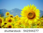 Sunflower Natural Background ...