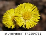 Two Bright Yellow Flowers Of ...